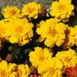 山野草「小葉の立浪」とマリーゴールド