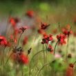 初夏の花達2)赤いタンポポ