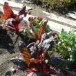 北海道「えこりん村・ガーデンセンター花の牧場」のスイスチャード / フダンソウ 2017年10月16日(月)