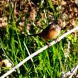 『花水の野鳥』 ホオジロ