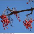 イイギリ 〈飯桐〉 の赤い実