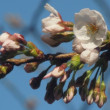 サクラの花が咲きました