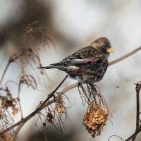 昨日の鳥 ハギマシコ 探したが会えず要約会えました,鳥友何人かと楽しく撮影出来ました。