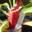 ネペンテス栽培記 447 ネペンテス栽培のシンギュラリティ その5 究極の袋を求めて