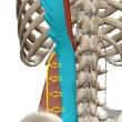 腰痛の原因になりやすい筋肉~腰方形筋~