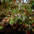 花水木 紅葉 (花 4670)