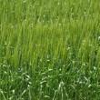 小麦たち・・その後