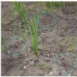 コンニャク栽培記 6月下旬<4個の芋に芽が出ました>