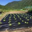 田舎に行って白菜の苗を植え付けてきました