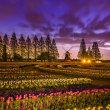 チューリップ畑の夜明け