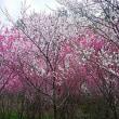 信州やぶはら高原 桜満開