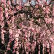 ✾ 枝垂れ梅  今を盛りに・・・ 12石のジョギング