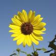 季節の花「向日葵 (ひまわり)」