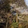山桜は満開