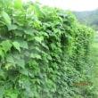 四角豆の成長