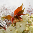 吉備路文学館のウコン桜
