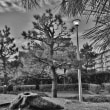 松の木のある公園。