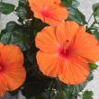 花だより・・・。『ハイビスカス』