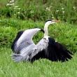 北印旛沼探鳥(ヨシゴイ他)