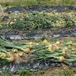 家庭菜園 玉葱収穫と空豆