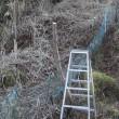 タラの芽の水耕栽培