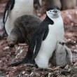 ヒゲペンギン親子