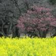 「菜の花と梅」/浜離宮