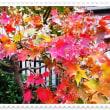 庭の「モミジ」の紅葉