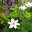カエルとクレマチスの咲く庭で楽しむ