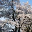 寒い日続き、桜満開も長続き