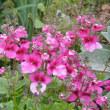 擬宝珠 金魚草 チェリーセージ ネメシア が咲きました♪