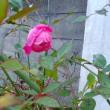 1月6日の花