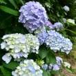 紫陽花の季節・・・【いな】