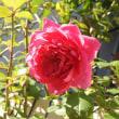 柿原の「前川次郎柿」と初冬のピンクと赤のバラ