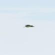 ピント合わせが難しい、飛ぶオオジシギ。