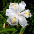著莪(しゃが)という花
