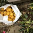 無事に板橋ロールコールにチェックインした後、庭のゆずとレモンを最終収穫しました!