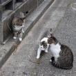 マタタビと猫