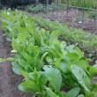 また、正月菜と大根の種を蒔く