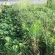 8/18(金)草とり、草刈り延々と・・サツマイモ ツル返し完了 etc.