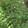 庭のアジサイが綺麗に咲きました