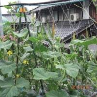 ジャガイモの長寿化