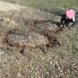畑、剪定枝の粉砕・ブルーベリーとミカンに肥料入れ