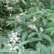 楽書き雑記「秋が迎えてくれました。ハギ、ススキ、オミナエシ、サギソウ=名古屋・東山植物園の散歩道」