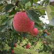 嵐の前のりんご園
