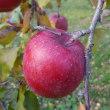 密入りリンゴのふじ