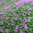 北海道の花・サクラソウ1