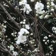 桜の開花が・・・・
