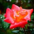 『雨滴』 プリンセス・ミチコ