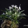 富貴蘭「山採り付無し(天草産)」の花